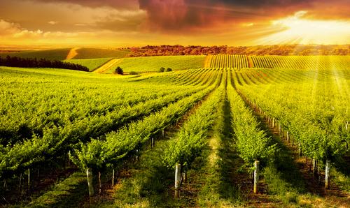 field of crops plants